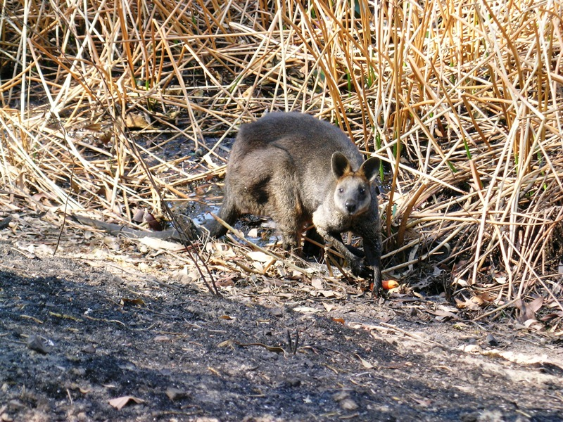 A Swamp Wallaby with badly burned feet seeking relief in a dam on a Dixons Creek property.