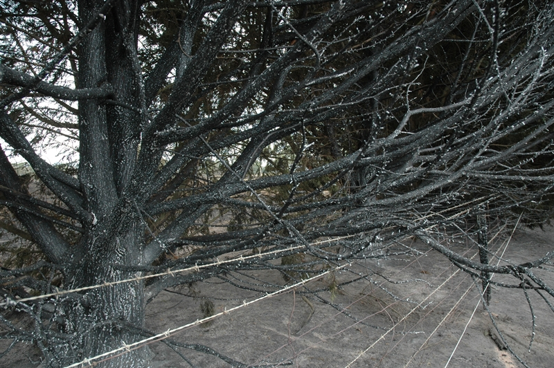 Keeping to the shape of the steep driveway leading to the property home were ninety established & well groomed tall cypress trees.The day after Black Saturday Bushfires the trees appeared to be covered in Winter snow.