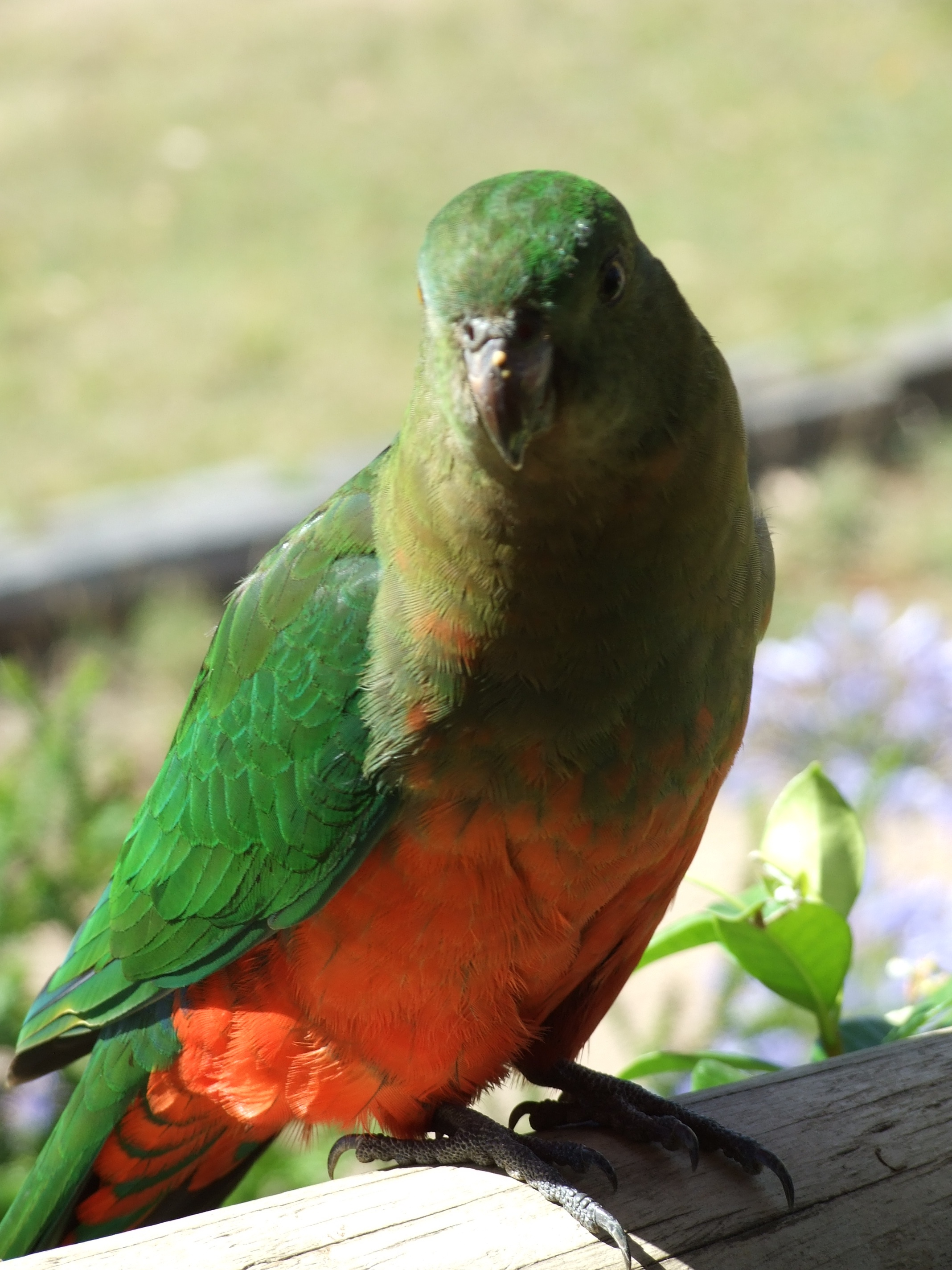 The Mighty King Parrot