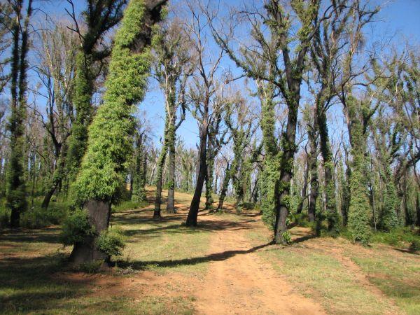 Xanthorrhoea (Grass trees), Red Hill, Marysville - December 2009